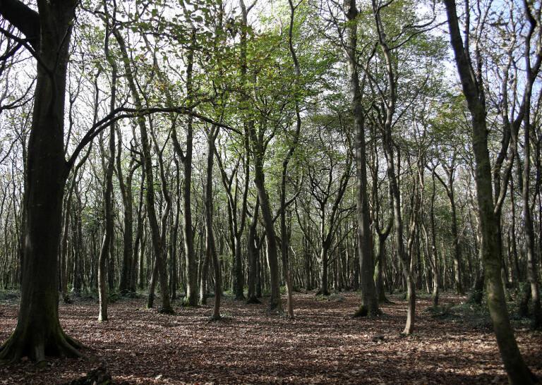 tehidy_woods
